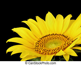 Sunflower, Helianthus annuus, closeup - Closeup of a...
