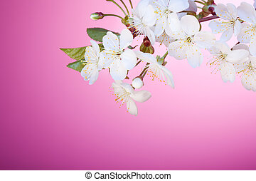 Cherry tree blossom - twig on glamour pink background