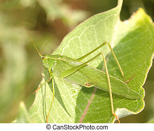 Katydid On Leaf - A katydid perched on a plant leaf