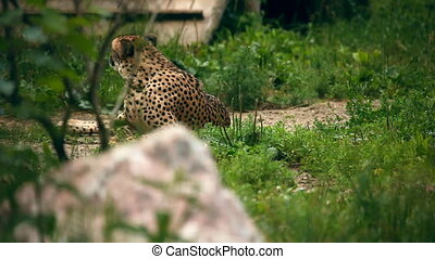 Cheetah - Cheetah lying in grass Novosibirsk Zoo
