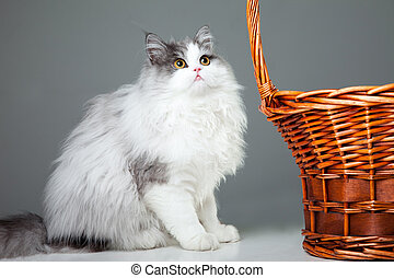 Portrait of young beautiful gray and white persian cat sitting near basket on grey background