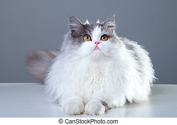 Portrait of young beautiful gray and white persian cat lying on grey background