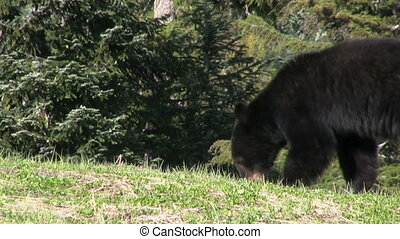 Black Bear Looking For Food - A cute little black bear looks...