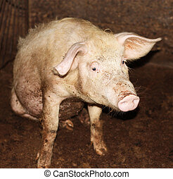close up of little pig in a farm in China
