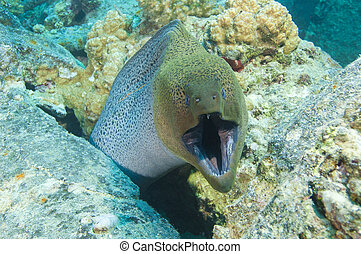 Giant moray eel showing defensive behaviour - Large giant...