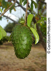 Guyabano Fruit / Soursop - Guyabano fruit also known as...