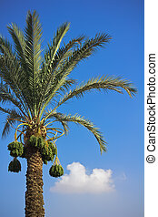 Date-palm - The date-palm with dates at a sky background