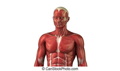 Head muscular system  anatomy zoom in