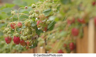 Strawberry bushes in drops  after