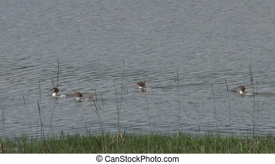 Baby Loons Eating Fish - A flock of baby loons stroll down...