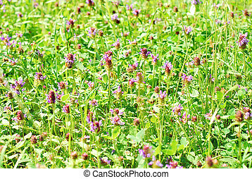meadow with blooming clover