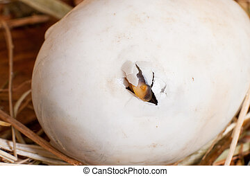 Pipping egg - First hole in an egg made by a hatching...