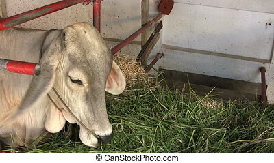 Asian Cow Eating In Stable - A cute Asian cow enjoys chewing...