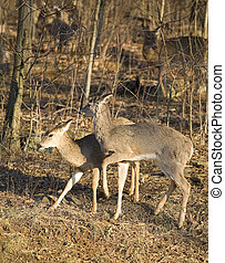 Get away from there - doe pushing another doe away near a...