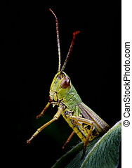 Orthoptera - green grasshopper