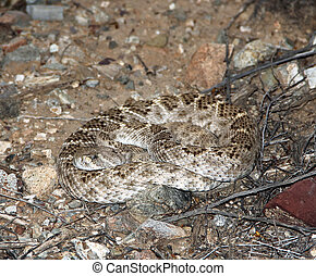 Camouflage Snake - Western Diamond Back Near Tucson Arizona