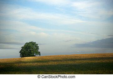 Lone tree - Single tree on a field in summer