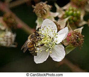 Honey Bee on Flower - Honey Bee nectaring on Bramble or...