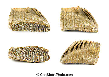 Mammoth tooth isolated on white background 30,000 years old...