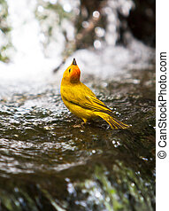Safron Finch - A saffron finch bathing in a two tier mini...