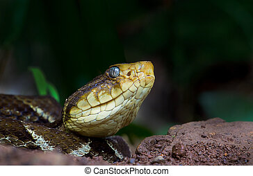 Fer de Lance - The Fer de lance is one of the largest and...
