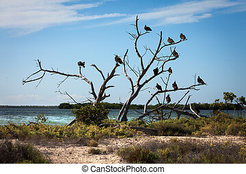 Turkey Vulture (Cathartes aura) sit on a tree near a...