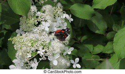 Admiral butterfly drinking nectar on white flowers