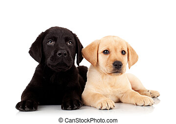 two cute labrador puppies - looking up to something over...