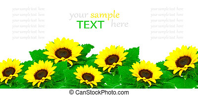 Sunflowers isolated on white background, with room for text