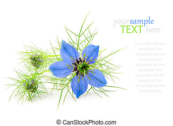 Nigella damascena,  isolated on a white background