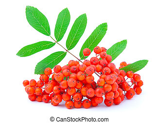 Ashberry with green leaves. isolated on a white background