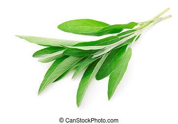 verde, folhas, sábio, isolado, branca, fundo