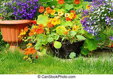 capuchina, flores,  lobelia, Florecer
