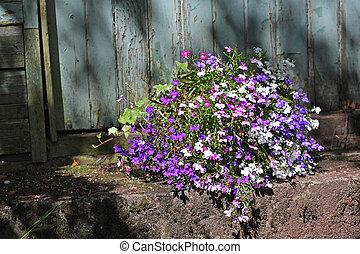 flores,  lobelia