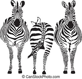 Zebras - illustration of three zebras, two front, one rear
