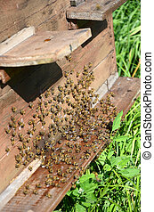 bees near a beehive - bees near a wooden beehive