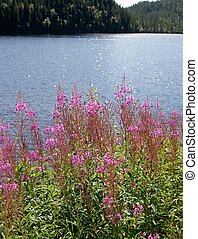 Willow herb by a tarn on a sunny day