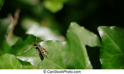 Wasp 01 - Wasp cleans one wing and flies away into the...