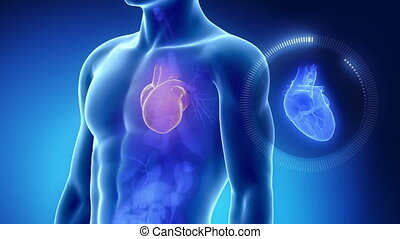 Human heart with thorax in blue