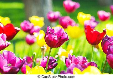 tulipán, flowes, parque