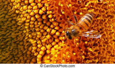 bee pollination on sunflower macro