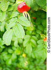 dog rose hip and leaves - fresh dog rose hip and leaves as...