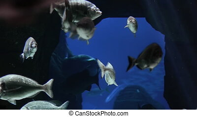 Fish in Rocks - Slow motion of fishes swimming next to...