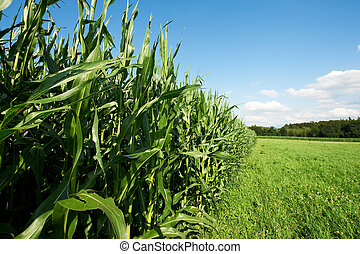 Fodder Corn - Plantation of Fodder Corn in Southern Bavaria,...
