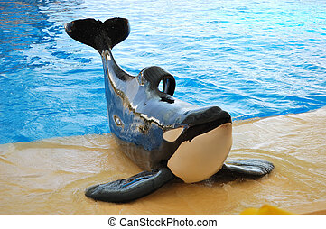 The orcas show in Loro Parque, Tenerife island, Spain