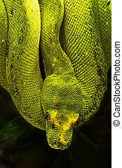 green python, Morelia viridis - Morelia viridis, the green...