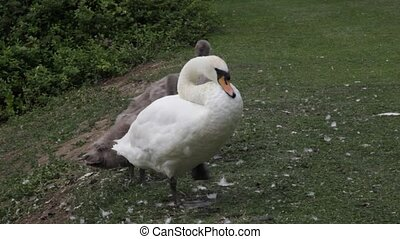 Family of swans preening. - Family of swans preening...