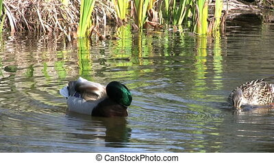 Duck Tail - A duck sticks his tail out of the water while he...