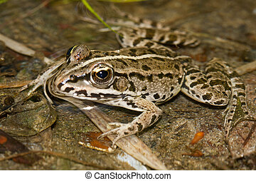 Rana arvalis - European moor frog rana arvalis floating in...