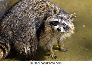 Sad raccoon - Portait of sad raccoon looking at you